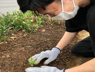 マリーゴールドの苗を植えます